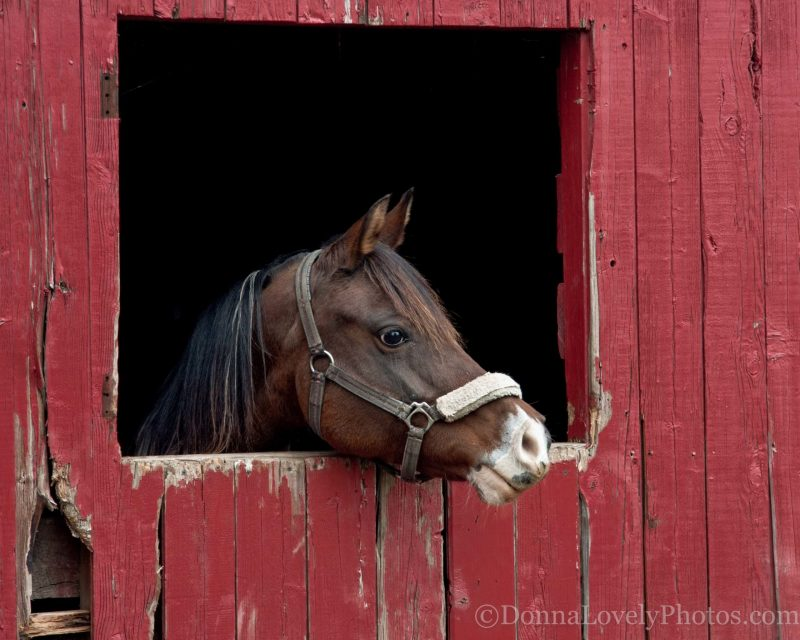 Horse in Red Barn Looking Right, Donna D. Lovely